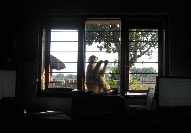 Mfuwe baboon